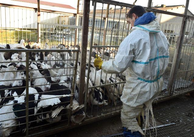 تائیدگسترش انفلوانزای مرغی در ۷ ایالت هند