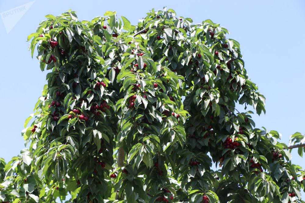 گیلاس در باغ میوه در کابل