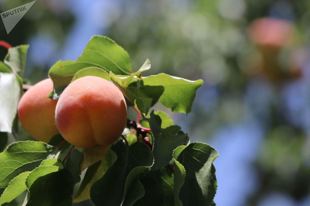 زردآلو در باغ میوه در کابل