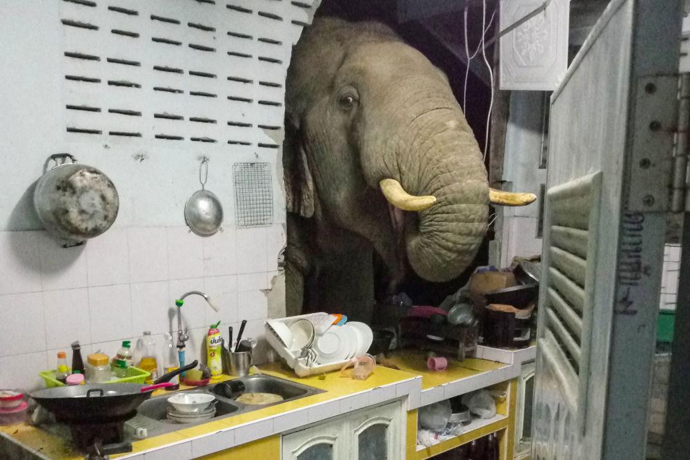 عبور فیل از دیوار یک خانه در تایلند.