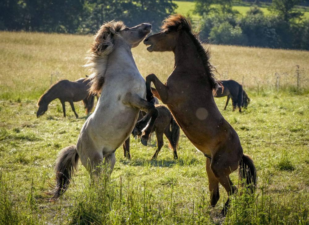 نریان اسب ایسلندی در یک مزرعه گل میخ در ورهایم نزدیک فرانکفورت آلمان.