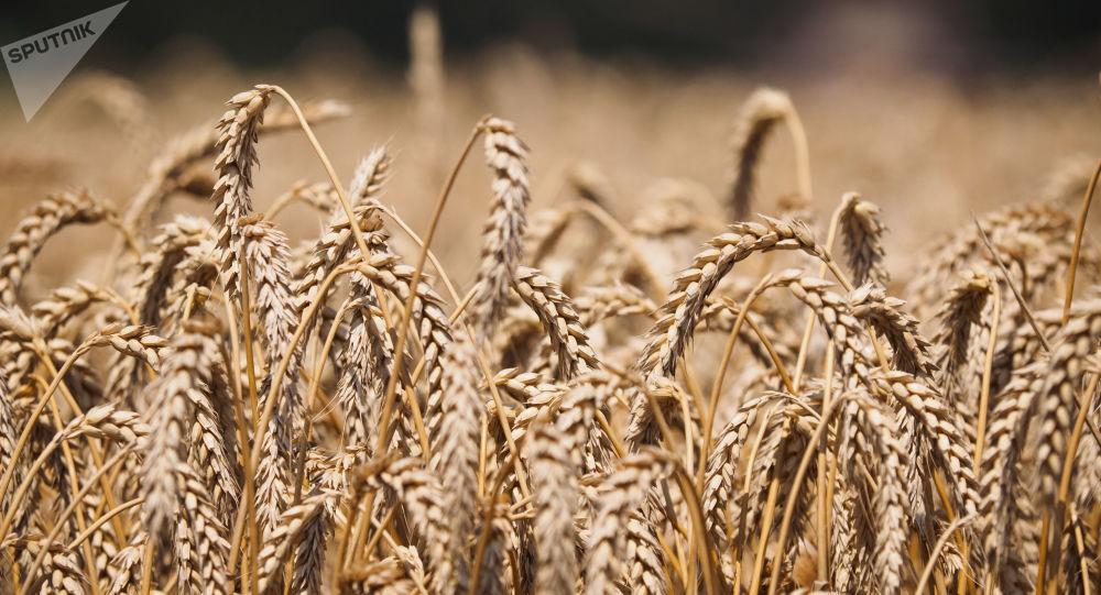 قزاقستان آماده است به تامین کننده آرد برای افغانستان تبدیل شود