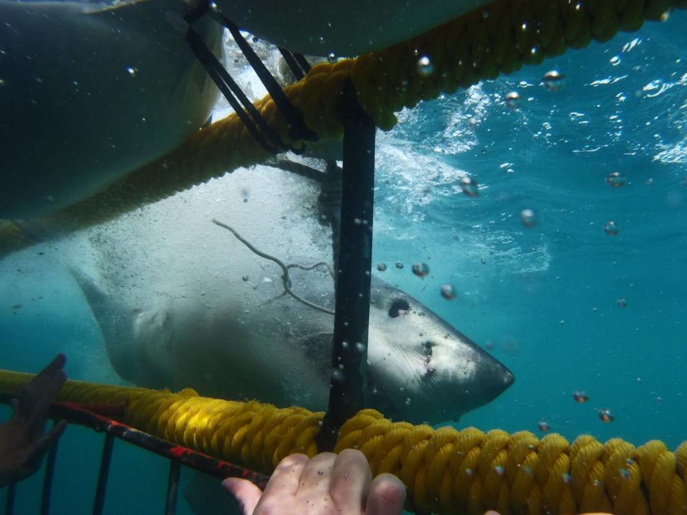 شنا با کوسه سفید – شهر گانسبای، آفریقای جنوبی
